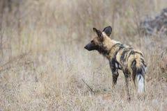 Afrikaanse wilde hond die op naderbij komende prooi wacht Royalty-vrije Stock Foto