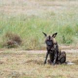 Afrikaanse wilde hond die tot een pak zeldzame Afrikaanse wilde die honden behoren, in Sabi Sand Game Reserve, Kruger, Zuid-Afrik royalty-vrije stock foto's