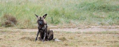 Afrikaanse wilde hond die tot een pak zeldzame Afrikaanse wilde die honden behoren, in Sabi Sands Game Reserve, Kruger, Zuid-Afri royalty-vrije stock afbeeldingen