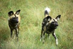 Afrikaanse wilde hond (lycaon pictus) Stock Afbeeldingen
