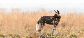 Afrikaanse wilde hond op savanne stock afbeelding