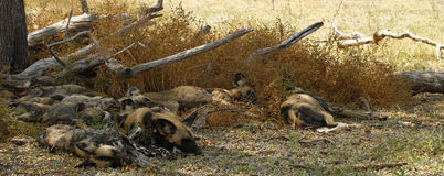 Afrikaanse wilde honden Stock Fotografie