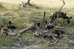 Afrikaanse wilde honden Royalty-vrije Stock Afbeeldingen
