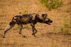 Afrikaanse wilde honden in de Savanne weg in Zimbabwe, Zuid-Afrika stock afbeelding
