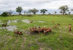 Afrikaanse wilde honden die op tsessebe voeden Royalty-vrije Stock Foto