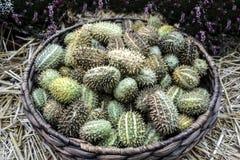 Afrikaanse wilde komkommer stock foto
