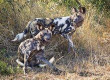 Afrikaanse Wilde pictus van Hondlycaon Stock Fotografie