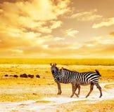 Afrikaanse wilde zebras Stock Fotografie