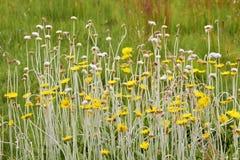 Afrikaanse wildflowers met lange stam Stock Afbeelding