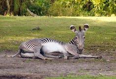 Afrikaanse zebra Stock Fotografie