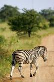 Afrikaanse Zebra royalty-vrije stock foto's