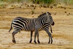 Afrikaanse zebra twee Royalty-vrije Stock Foto