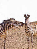 Afrikaanse Zebra twee die speels bijt Stock Foto
