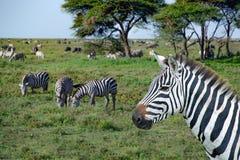 Afrikaanse zebras in Serengeti-weiden tijdens grote migratie Stock Fotografie
