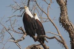 Afrikaanse Zeearend, Afrikaanse Vissen Eagle, Haliaeetus vocifer stock foto's