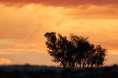 Afrikaanse zonsondergang met gesilhouetteerde bomen Stock Fotografie