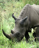 Afrikaanse zwarte rinoceros Stock Foto