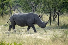 Afrikaanse Zwarte Rinoceros in de wildernis stock fotografie