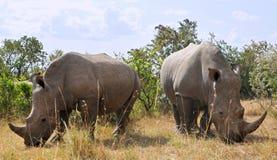 Afrikaanse Zwarte Rinocerossen Stock Afbeelding