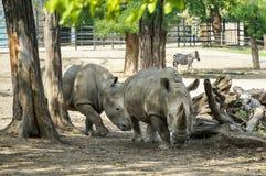 afrikan bak frim noshörningsikt Fotografering för Bildbyråer