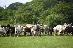 Afrikan cattle between green palms Royalty Free Stock Photo