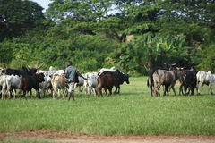 Afrikan cattle between green palms Stock Images