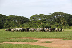 Afrikan cattle between green palms Royalty Free Stock Photos