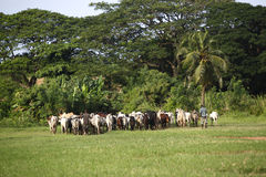 Afrikan cattle between green palms Stock Photos