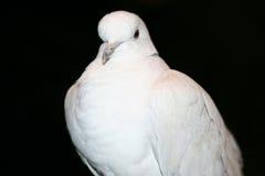 Afrikan försedd med krage duva (Streptopeliaroseogriseaen) Royaltyfri Foto