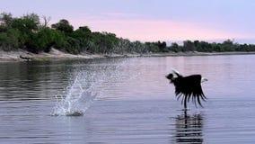 Afrikan Fisk-Eagle, haliaeetusvocifer, vuxen människa i flykten som fiskar på den Chobe floden, Okavango delta i Botswana, lager videofilmer