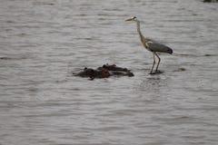 Afrikan Grey Heron som sätta sig på flodhäst Arkivfoto