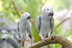 Afrikan Grey Parrot Royaltyfri Foto
