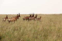 Afrikan Hartebeest Arkivbild