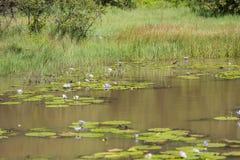 Afrikan Jacana i en sjö i den Karura skogen, Nairobi, Kenya Royaltyfri Foto