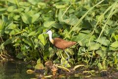 Afrikan Jacana i våtmarkerna Royaltyfri Fotografi