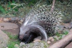afrikan krönad porcupine Royaltyfri Fotografi