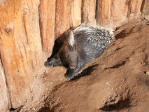 afrikan krönad porcupine Arkivfoton