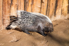 afrikan krönad porcupine Royaltyfria Foton