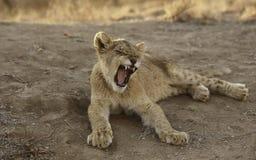 Afrikan Lion Cub Royaltyfria Bilder