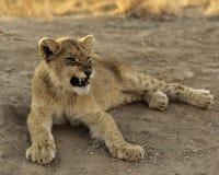 Afrikan Lion Cub Arkivbild