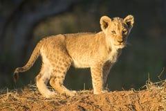 Afrikan Lion Cub (PantheraLejonet) Sydafrika Arkivbilder