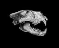 Afrikan Lion Skull (Pantera leo) Arkivfoto