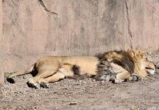 Afrikan Lion Sleeping Under The Sun Arkivbilder