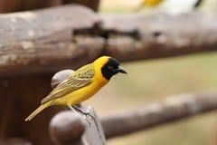 Afrikan maskerade Weaver Bird Arkivbilder