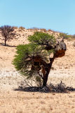 Afrikan maskerat stort rede för vävare på träd Arkivfoton