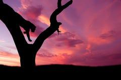 afrikan som hoppar ner leopardsilhouettetreen Royaltyfri Bild