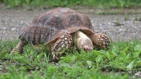 Afrikan sporrad hungrig sköldpadda som äter gräs stock video