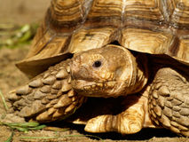 Afrikan sporrad sköldpadda Royaltyfri Foto