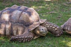 afrikan sporrad sköldpadda Fotografering för Bildbyråer