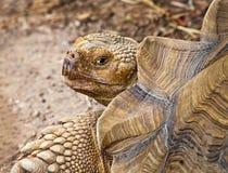 afrikan sporrad sköldpadda Arkivbild